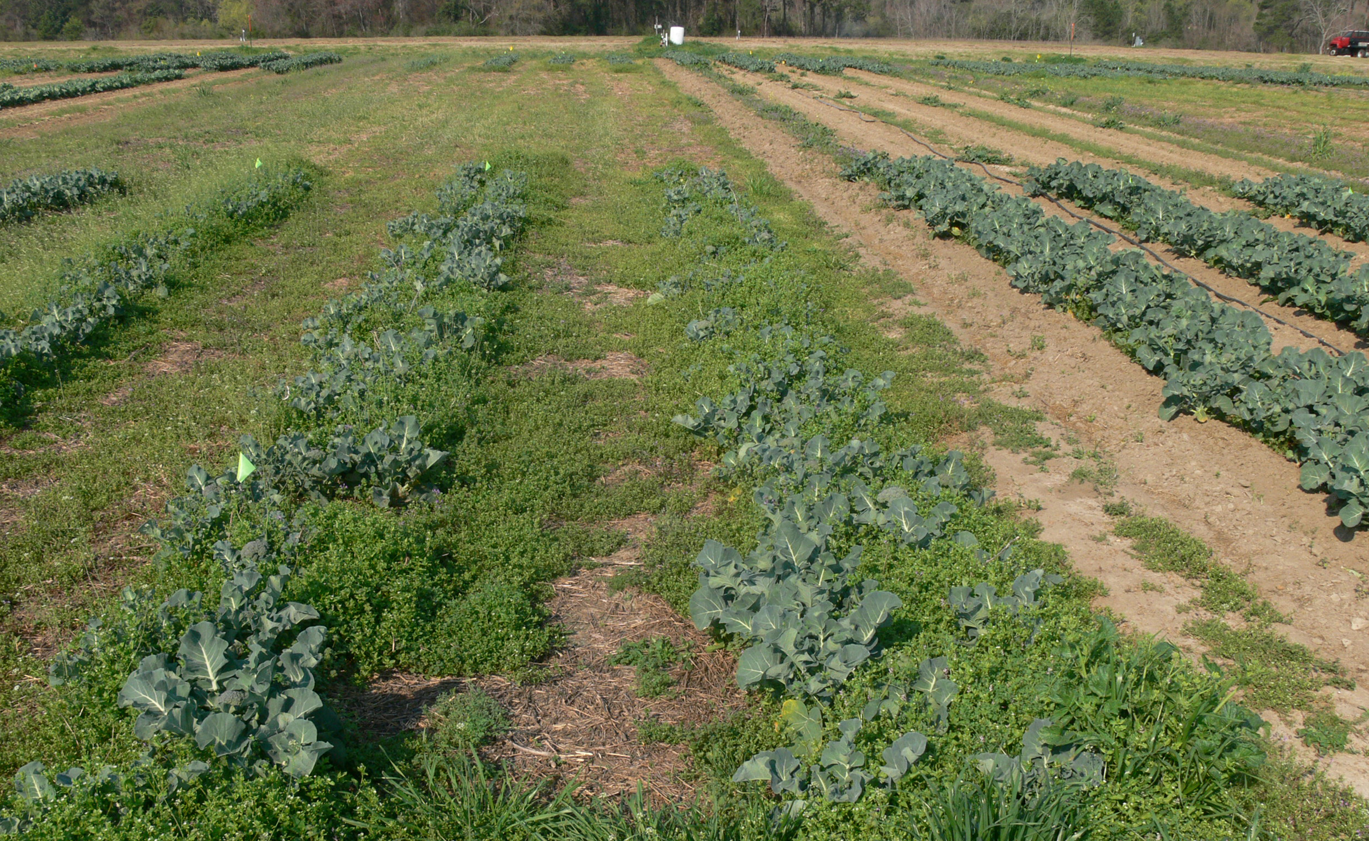 Pictured is broccoli grown on the UGA Tifton Campus as weeds present a problem.