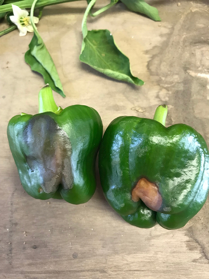 Bell peppers with blossom end rot symptoms caused by excess of sun light.