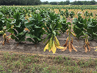 Black shank disease turns tobacco leaves yellow and causes the plant to wilt and eventually die.
