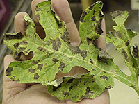 Downy mildew disease can destroy plant foliage and cause the leaves to curl and die. Without healthy leaves and vines, a plant is vulnerable to blisters and sunscald during hot days, conditions most of Georgia has experienced since early May.