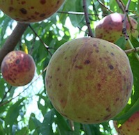 San Jose scale is a sucking insect pest which damages fruit, like this peach, and can eventually kill a tree by injecting toxins.