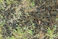 Nostoc, a genus of cyanobacterium formerly classified as blue-green algae, may appear suddenly in lawns, and other turf areas, following a period of rain. The jelly-like substance growing in the turf can be an indication of overwatering.