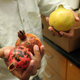 Lucky Mehra holds two pomegranates that have been infected with Cercospora fruit spot. The one on the right is a different variety and does not have the disease.