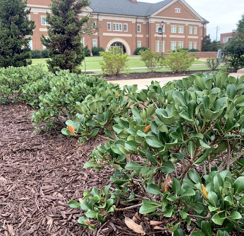 Adding mulch to landscape beds can be an effective way to control small weed infestations or in areas where herbicides cannot be used, UGA Extension experts say.