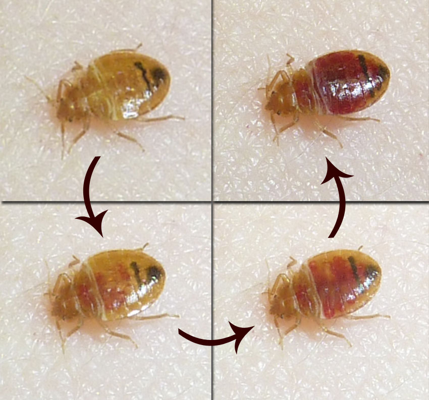 Head lice aren't the only insects becoming pests in schools. Bed bugs are hitchhiking to class on bookbags, too.