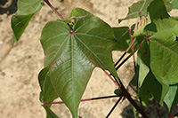 Pictured is an image of cotton suspected of suffering from symptoms of Cotton Blue Disease.