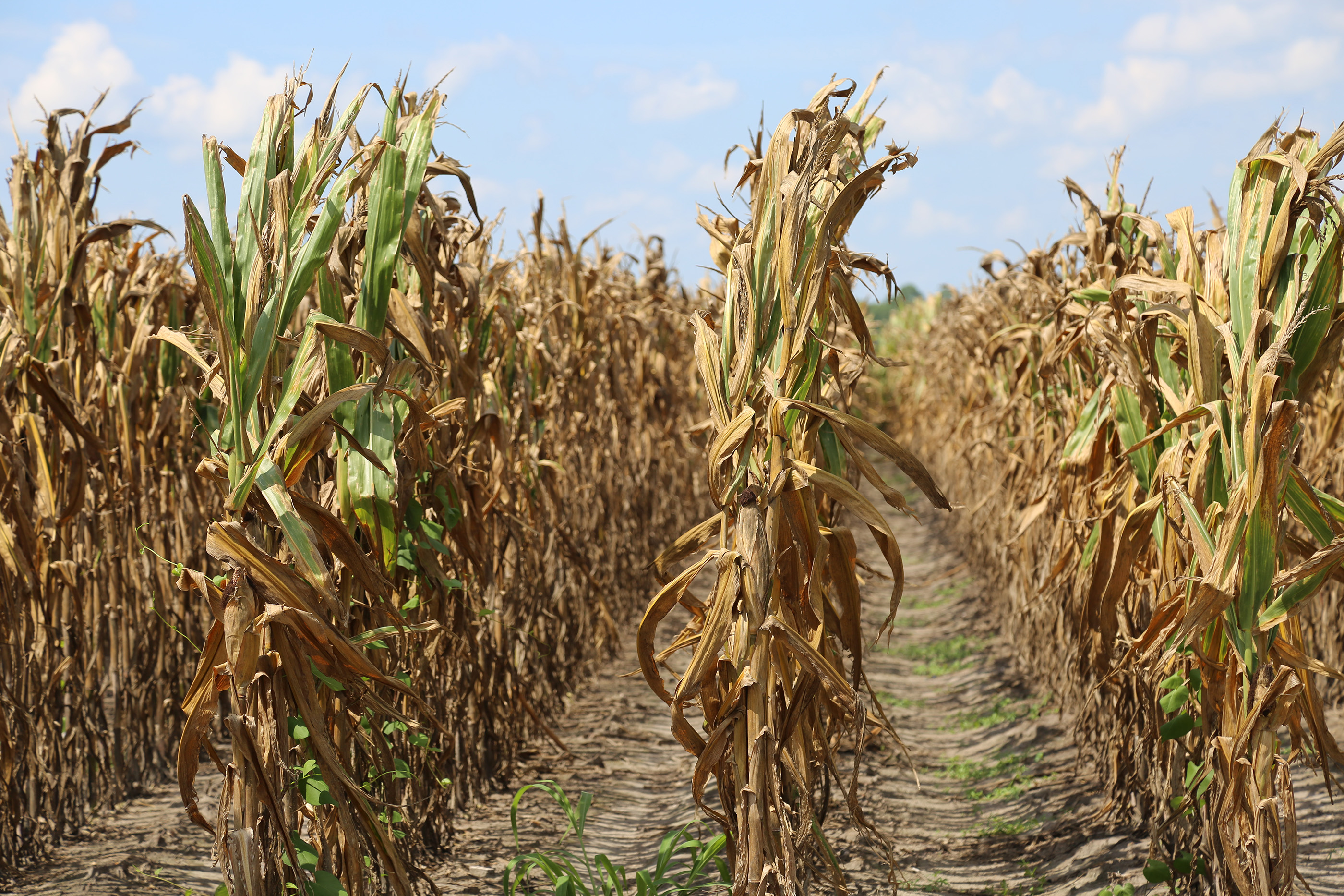 """According to this year's """"UGA Extension Corn Production Guide,"""" corn needs the most water — approximately 0.33 inches per day — during pollination. While producers prefer Mother Nature to supply the needed moisture, irrigation systems are in place to satisfy water requirements not met by natural precipitation."""