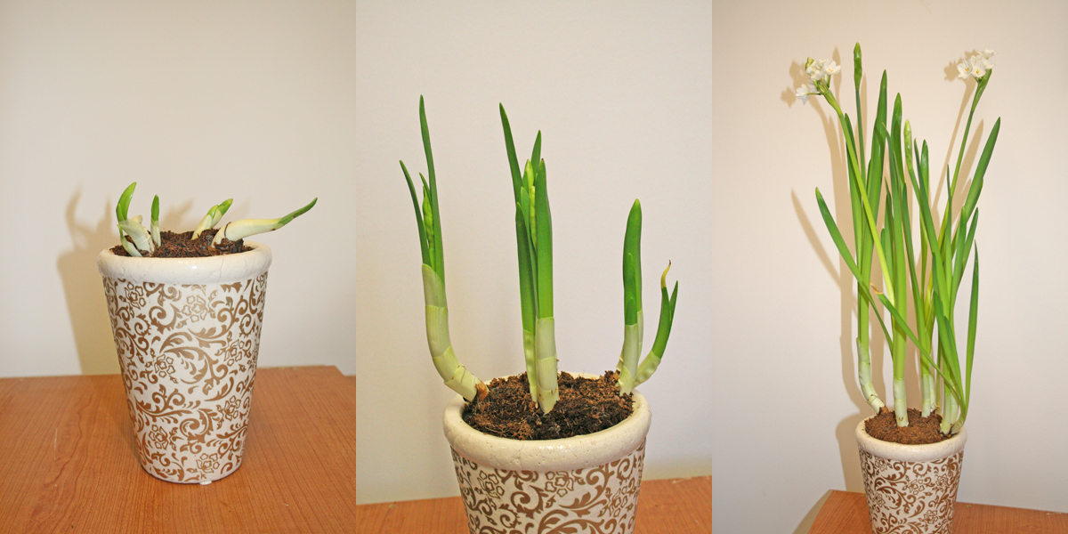 With a little care, spring-flowering bulbs can be forced to bloom indoors.