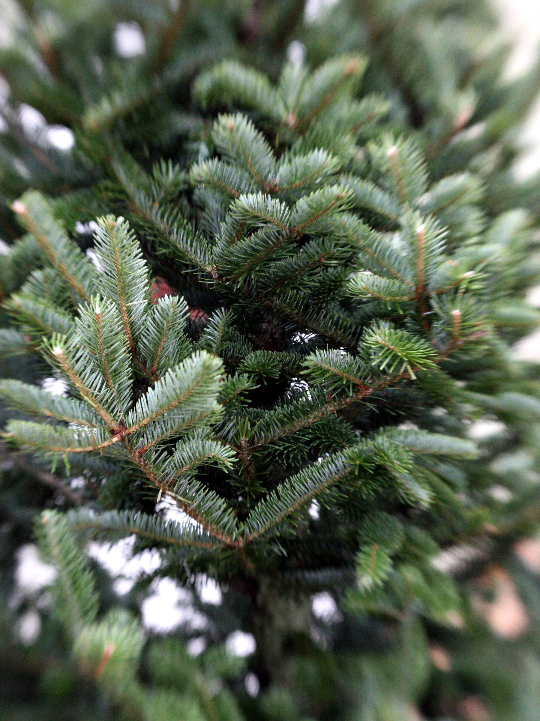 What may look like an ordinary live Christmas tree to many people can turn into a sneezing fest for allergy sufferers. And with their dust and mold, fake trees can be just as bad.