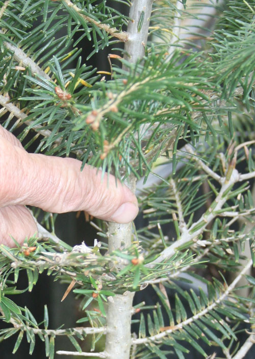 Fir grafting 3