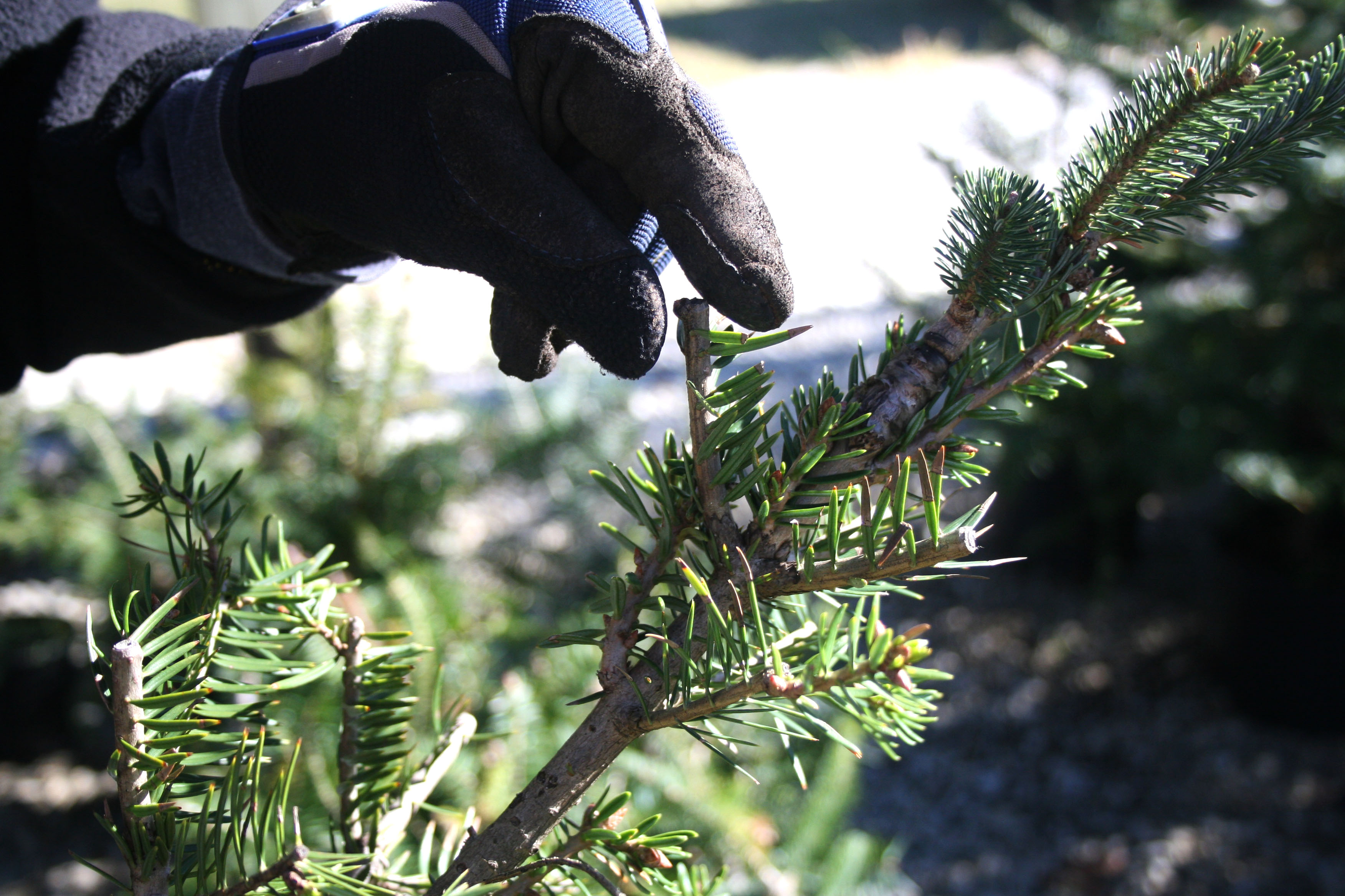University of Georgia horticulturist Mark Czarnota is working to graft a Fraser fir with a Momi fir to create a tree that will grow in Georgia.