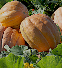 'Orange Bulldog' is an improved pumpkin variety developed by UGA scientists from germplasm collected in the jungles of South America. It has greater levels of resistance to viruses than conventional pumpkins. 'Orange Bulldog' made its debut in 2004 and has consistently produced yields of 13,000 to 20,000 pounds per acre in north and south Georgia.