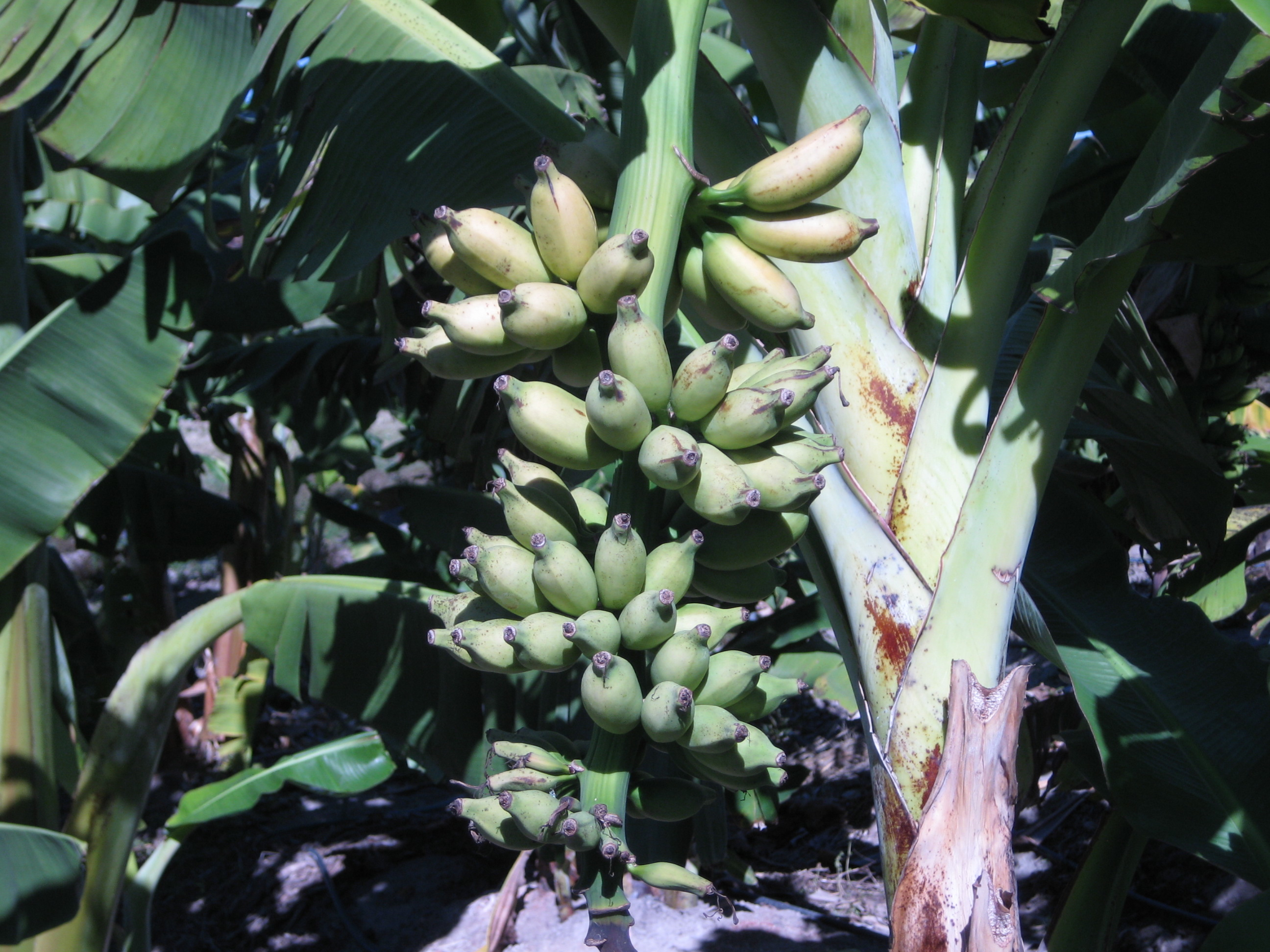 Bananas grow in bunches on a tree on the UGA Tifton Campus.