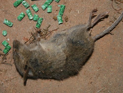 Dead mouse killed by poison pellets