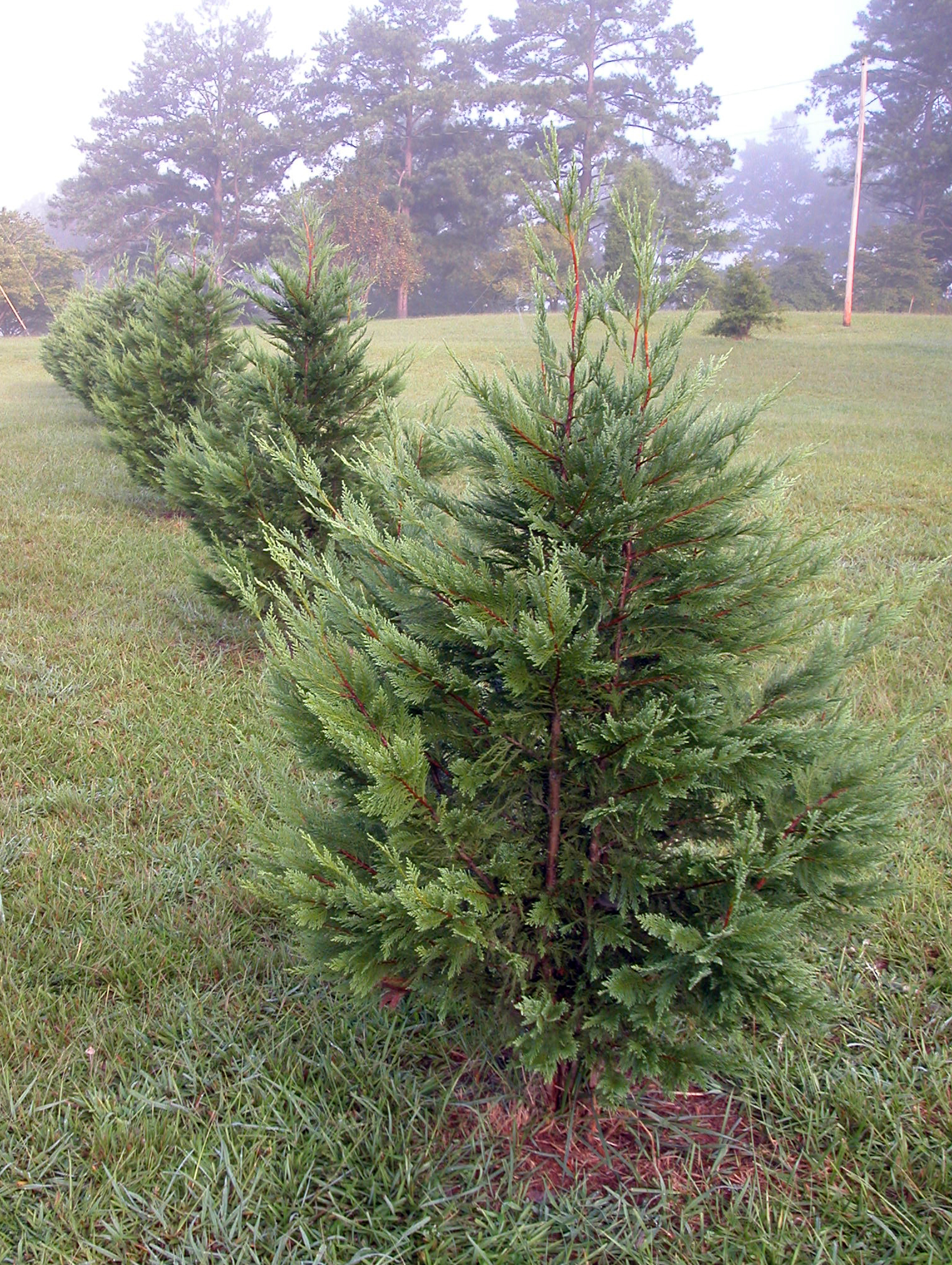 Small Live Christmas Trees