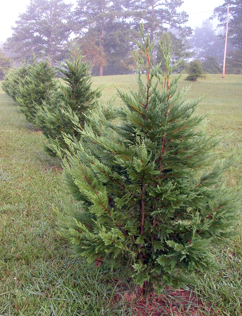 Leyland cypress trees grow as a property border in a lawn in Butts Co., Ga.