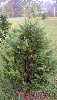 When adding new plants, make sure they will fit the space you select into the future. For example, Leyland cypress trees can grow up to 60 feet in height and 15 feet in width. These trees should be spaced at least 10 to 15 feet apart, but that is seldom done. Most people want an instant screen and plant them 5 to 6 feet apart.