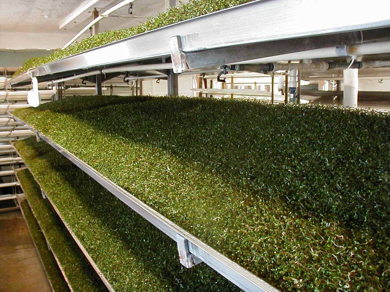 Since 1996 there have been at least 30 reported outbreaks of foodborne illness associated with sprouts. A new UGA treatment holds promise to help lower those statistics.