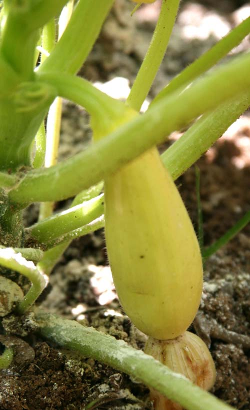 A yellow squash matures on the vine of a squash plant growing in Butts County, Georgia.