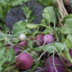 Radishes are one of the easier vegetables to grow for beginning gardeners.