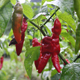 Peppers, whether hot or sweet, can be a great addition to any home garden.