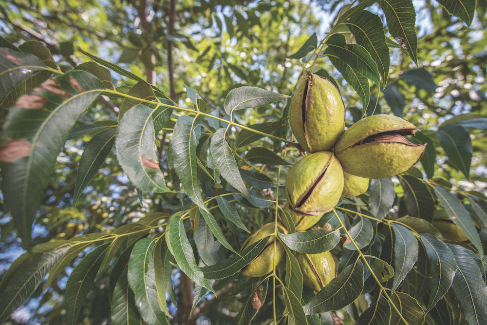 UGA Extension is hosting a field day for south Georgia pecan growers in Appling County on Aug. 28.