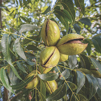 UGA's College of Agricultural and Environmental Sciences is part of a collaborative effort to develop a smartphone irrigation app for pecans.