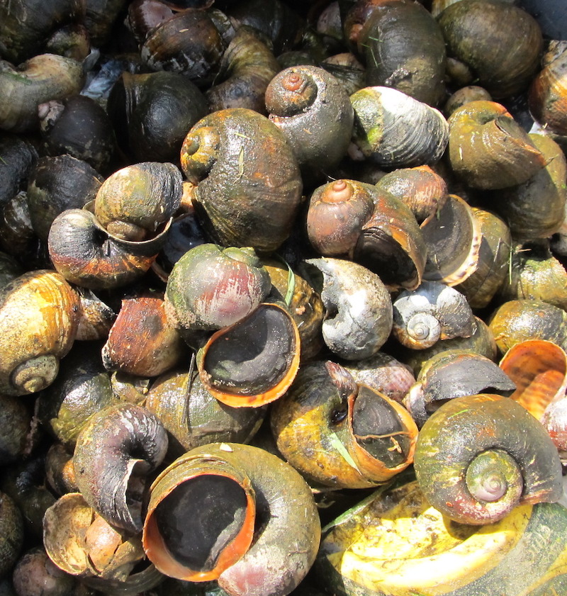 A large snail species that is native to South America, island apple snails mature in 60 to 80 days and can live in water and on land for more than three years. A single adult snail can produce up to 2,000 eggs every two weeks.