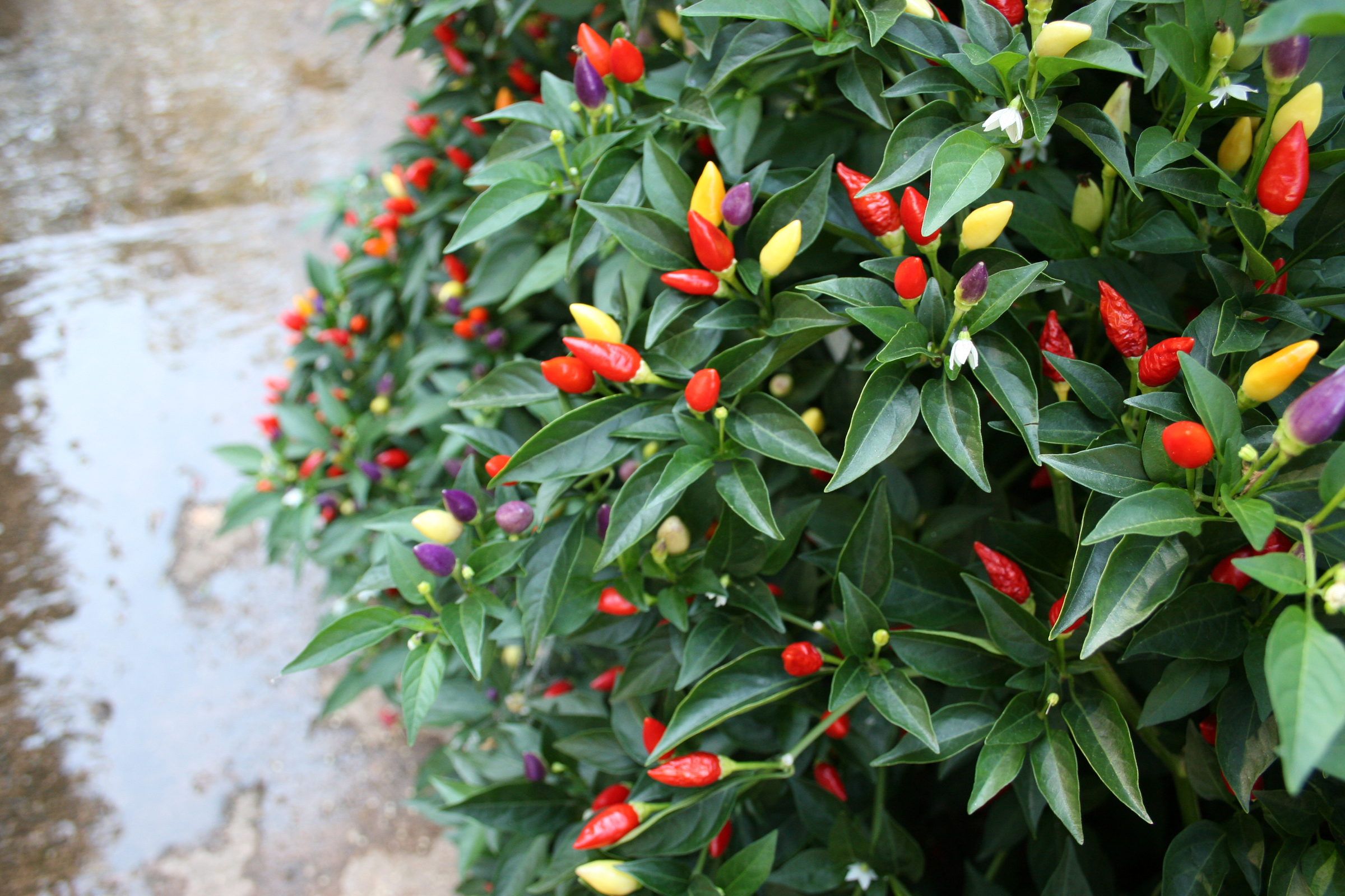 Ornamental peppers grow in many colors - from white to purple - in the UGA Horticulture Trial Gardens in Athens, Ga.