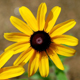 Black-eyed Susans win the 2011 gold medal for annuals. The happy flowers do well in large groupings or in the center of flowerbeds.