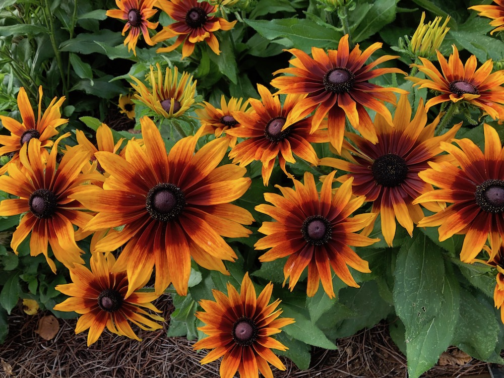 Echibeckia™ Summerina® Sizzling Sunset™ is one of the plants chosen as a Classic City Award Winner this summer at the Trial Gardens at UGA. Each year, trial garden managers recognize plants that thrive in Georgia's hot summers.