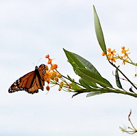 Several fall-blooming native aster plants (Aster spp.) are perfect for Monarch butterflies.  They do not need milkweed (Ascelpias spp.), their larval host plant, at this time of the year, but be sure to include milkweed in your summer butterfly garden.