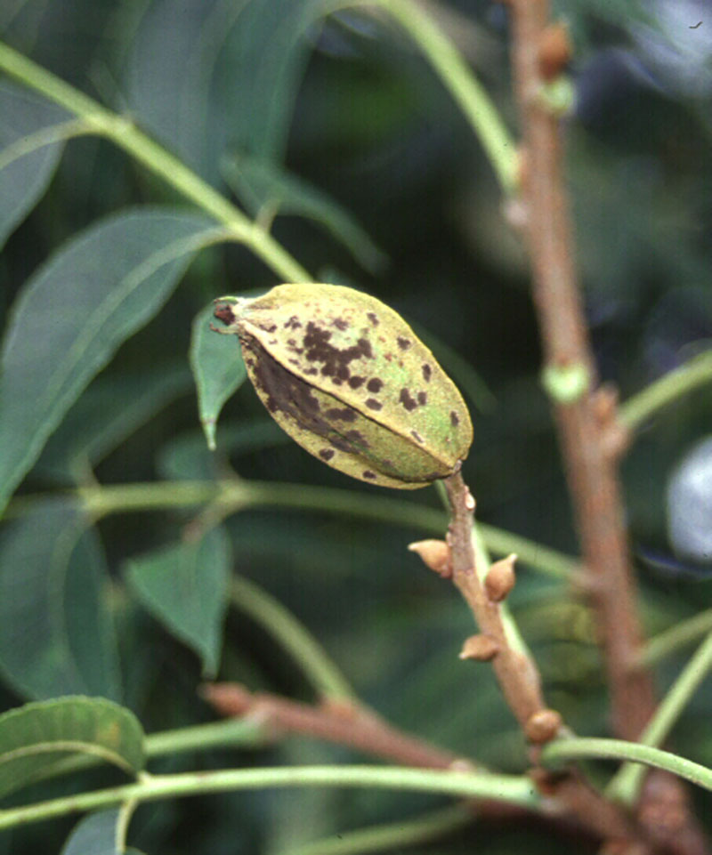 Pictured is a pecan affected by scab disease.