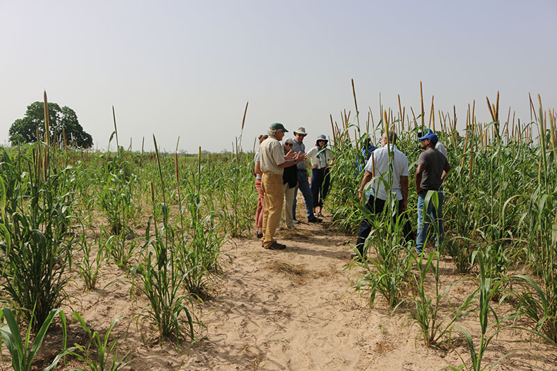 Richard Dick, a soil scientist from The Ohio State University explains the Optimized Shrub-intercropping System (OSS) to a team of US researchers with the Peanut Innovation Lab on a field visit in October 2019. By intentionally planting native shrubs in cultivated millet, farmers can benefit from bio-irrigation, as the shrubs pull moisture from deep below the surface. The difference is obvious in two test plots planted with the same density of millet. The field behind Dick (to the left) is untreated, while the field to the right is using the OSS. Now – with the support of the Peanut Innovation Lab – researchers are testing the OSS in Senegalese farmers' peanut fields. (Photo by Allison Floyd)