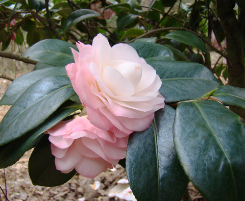 Camellias add both green shrubby and color to landscapes with their leaves and blooms.