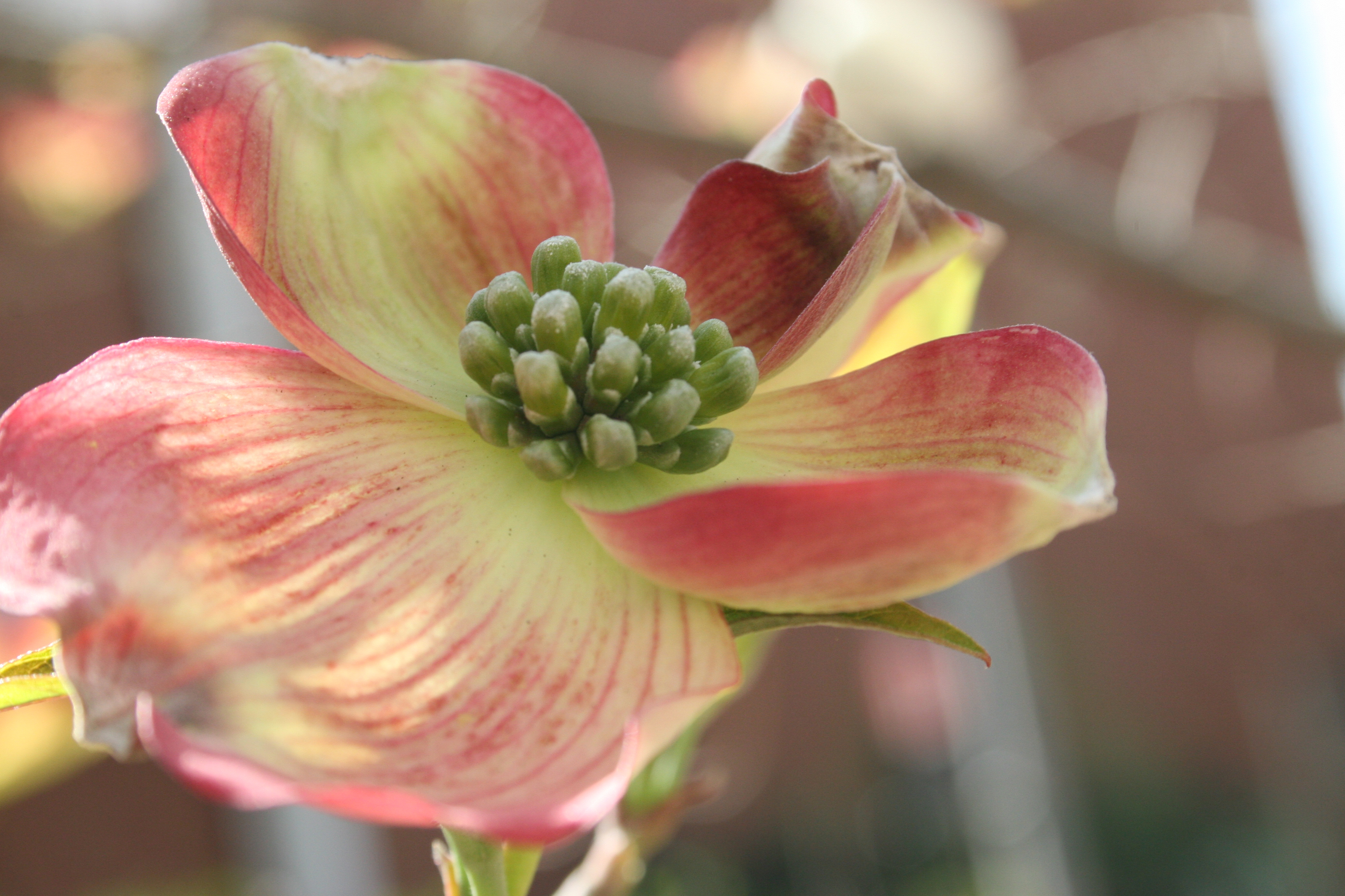 Many trees, like this dogwood, have showy flowers that are not only useful to pollinators, but also very attractive additions to landscapes.