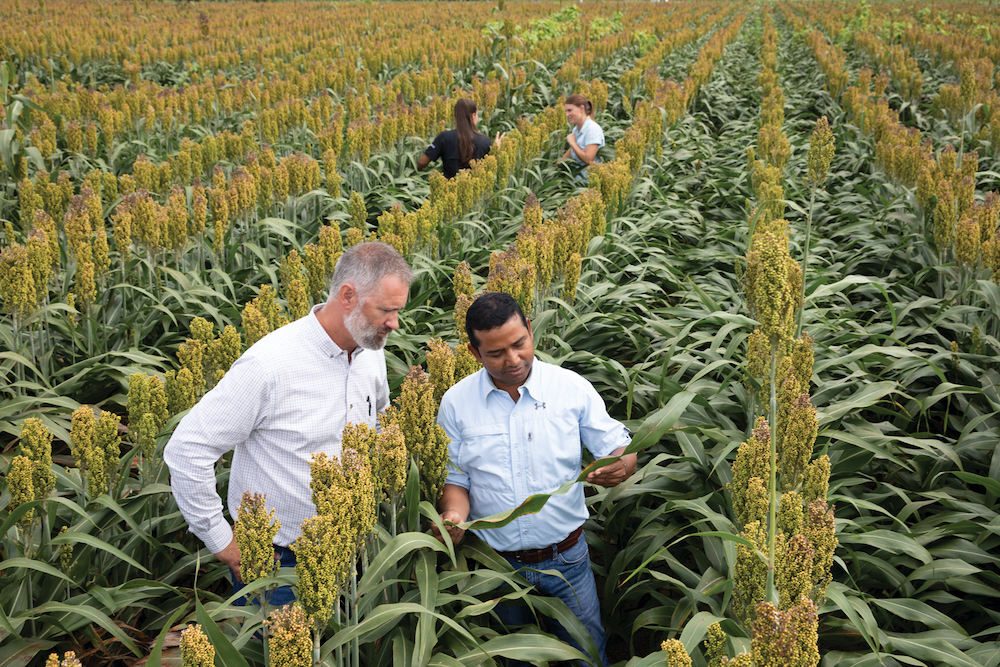 Michael Toews, entomology professor and co-director of UGA's Center for Invasive Species and Ecosystem Health, and his graduate student team of Apurba Barman (foreground), Lauren Perez (background, left) and Sarah Hobby inspect sorghum plants near Tifton for signs of invasive sugarcane aphids.