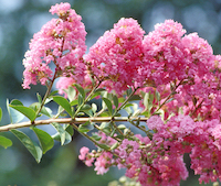 In the spring, crape myrtles add color with flowers. In the fall, they add color with brightly colored leaves.