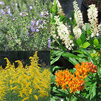 The first annual Georgia Pollinator Plants of the Year chosen by the State Botanical Garden of Georgia are (clockwise from top left) Conradina (Conradina canescens), also known as wild rosemary; Sweet Pepperbush (Clethra alnifolia); Butterfly Weed (Asclepias tuberosa); and Downy Goldenrod (Solidago petiolaris).