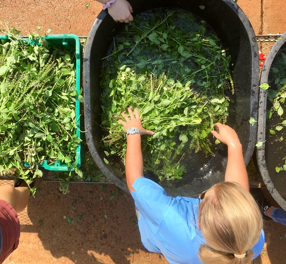 Student work harvesting herbs at UGArden.