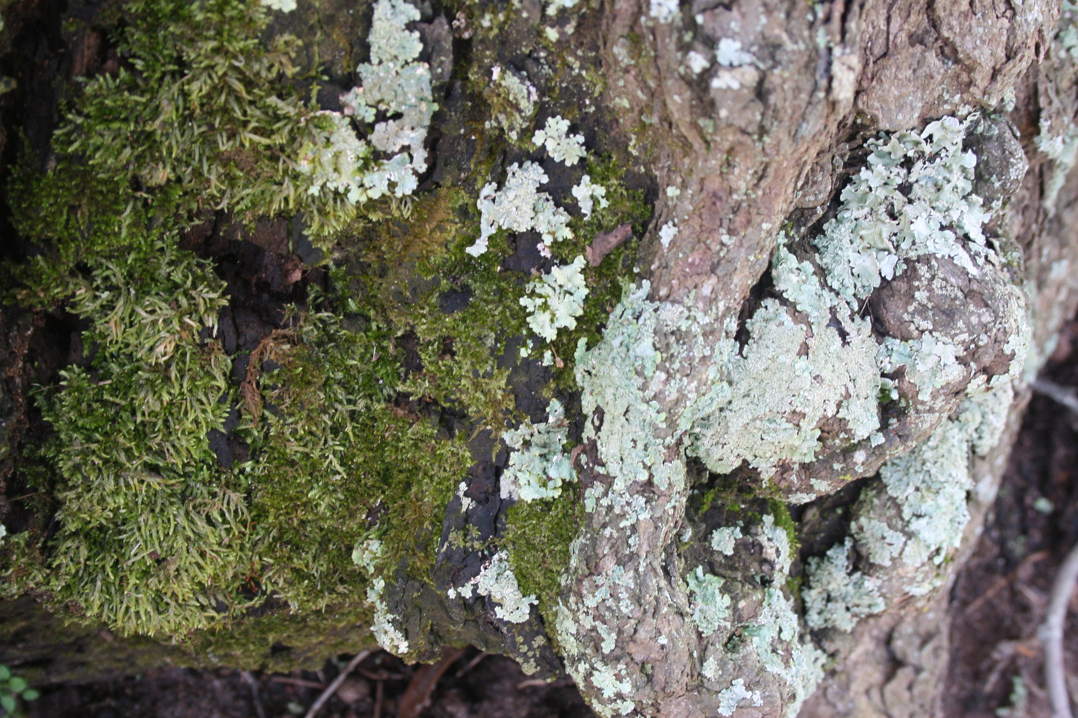 Moss and lichens grow on the base of a redbud tree on the University of Georgia campus in Griffin, Ga.