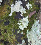Moss and lichens grow and thrive on the base of a redbud tree. These are indicators of a stressed or unhealthy plant.