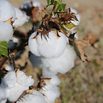 The U.S. planted acreage for cotton was forecast at 12.2 million acres, down 11% (1.5 million acres) from last year.