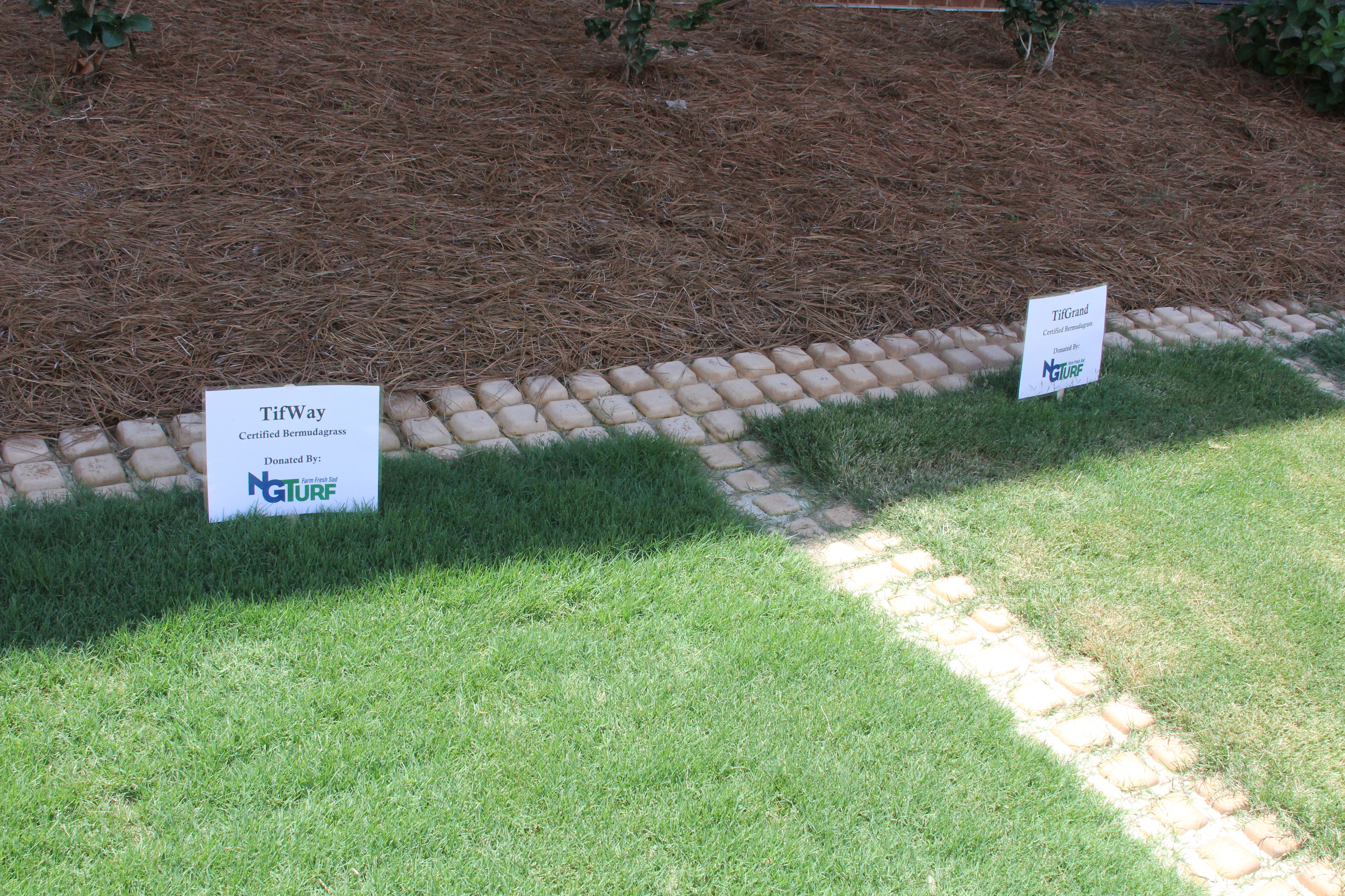"""Georgia turfgrasses are just beginning to """"green up,"""" a term used to describe the time when warm-season grasses like bermudagrass begin to turn green after the winter. Warm-season turf green-up is dependent on the soil temperature reaching 65 degrees Fahrenheit."""