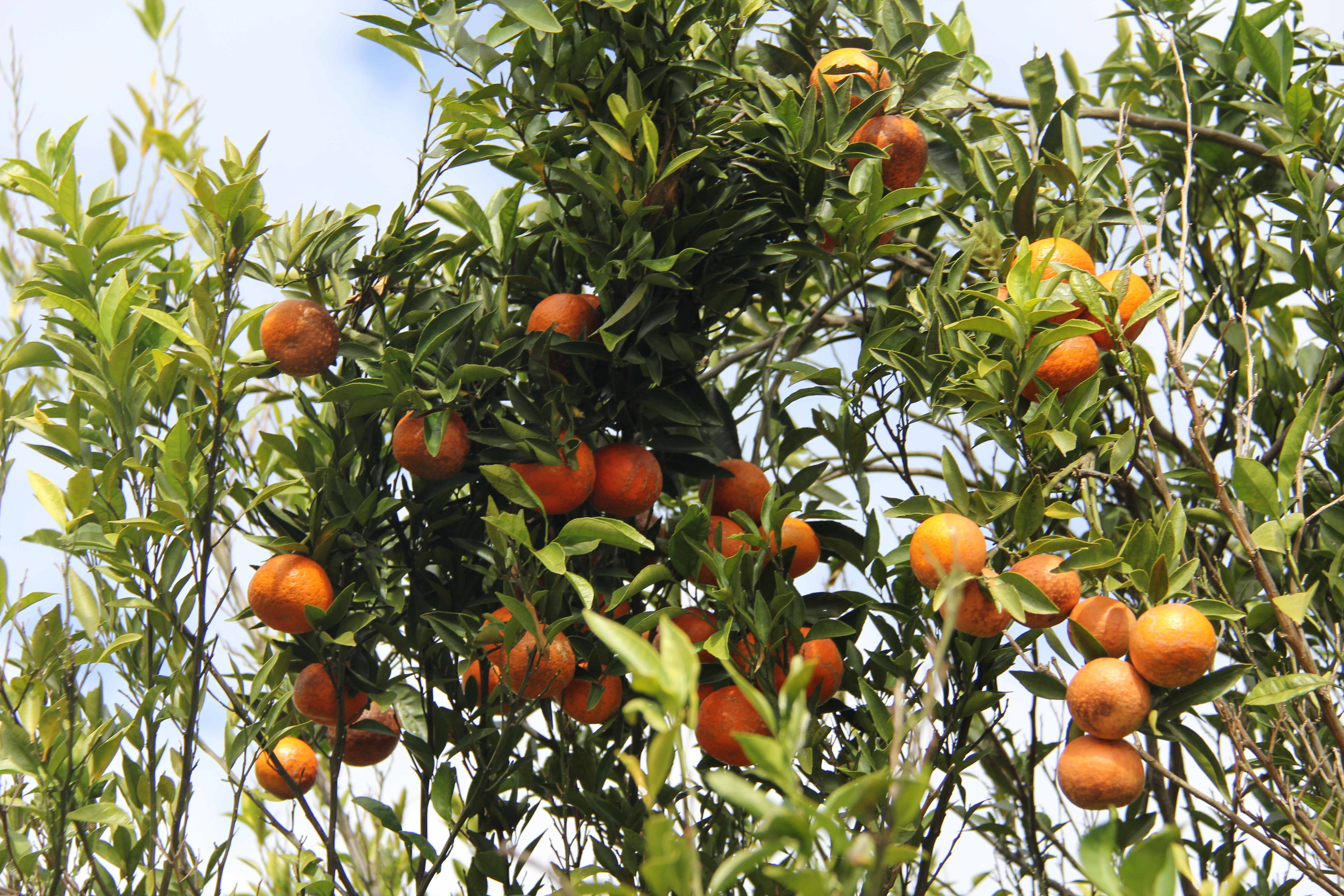 Since it launched in 2013 and 2014, Georgia's citrus industry has grown to about 2,000 acres of commercial citrus planted in southern Georgia, primarily cold-hardy satsumas.