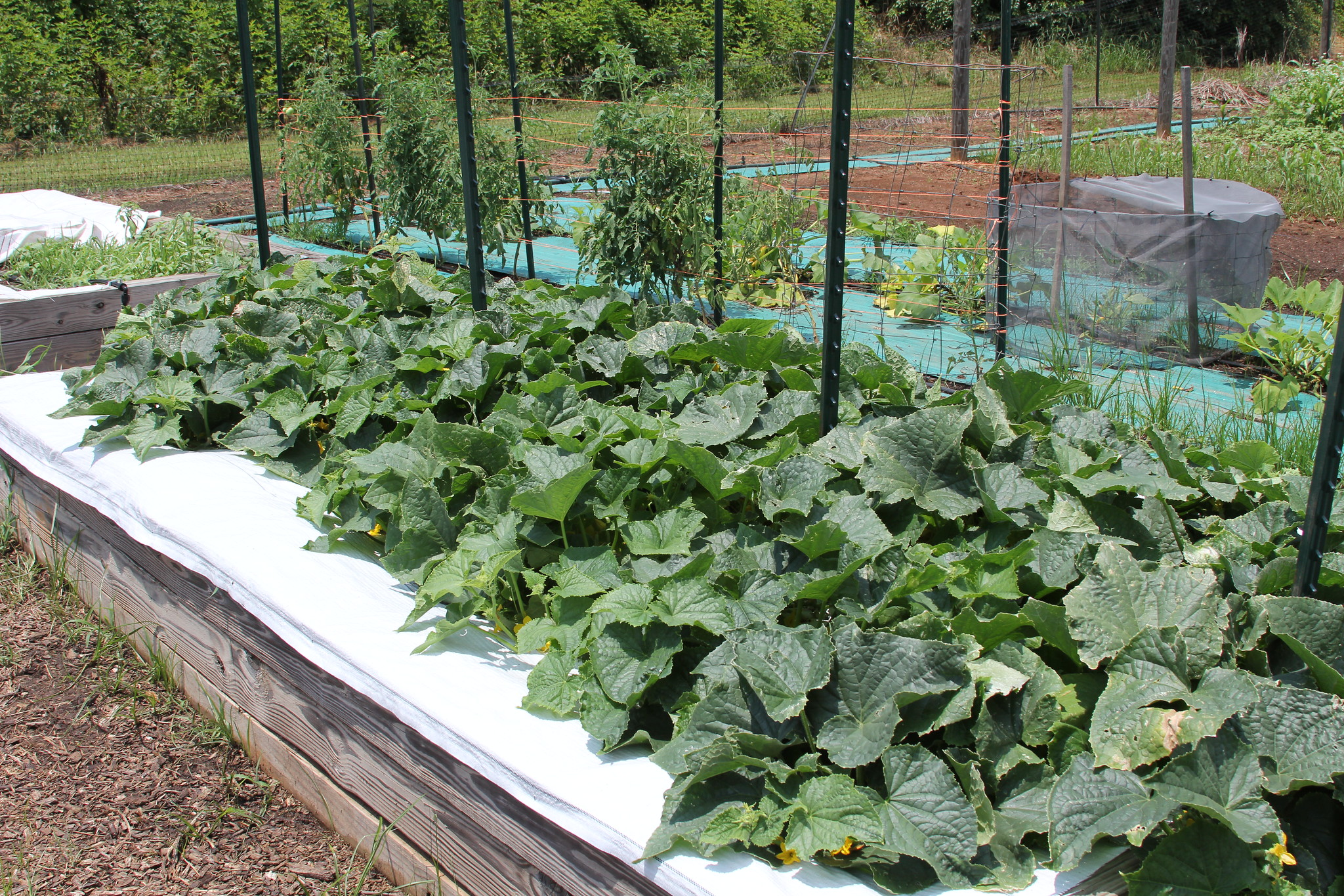 Squash plants grow in the UGA Research and Education Garden.