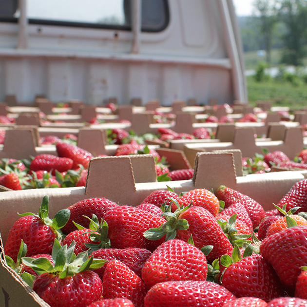 Georgia producers eager to sell fresh produce are being connected with buyers who need their products through UGA Extension partnership with Georgia Grown.