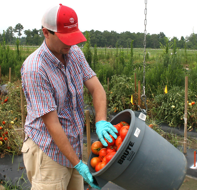 A student working on the UGA Tifton Campus weighs tomatoes at the Blackshank Farm.