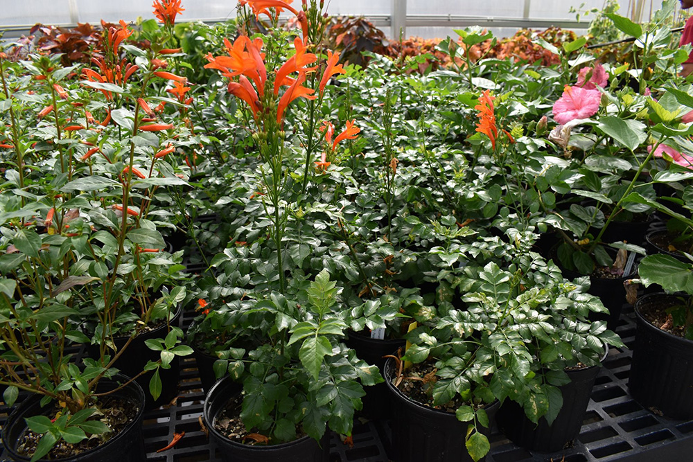 The Tecomaria capensis 'Orange' is only one of dozens of varieties of plants available at the UGA Trial Gardens online plant sale.