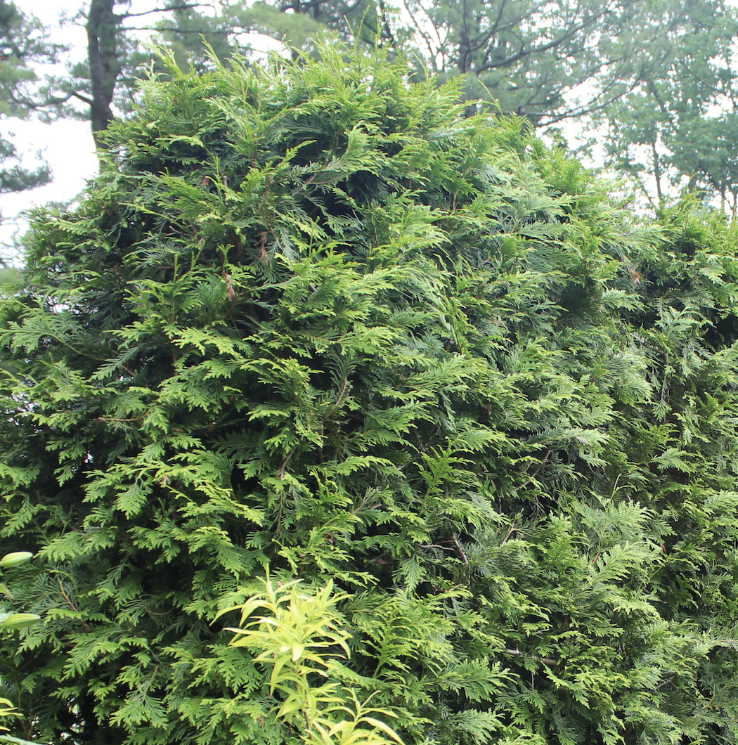Arborvitae (Thuja occidentalis) make attractive, pyramid-shaped evergreen hedges useful for screening.